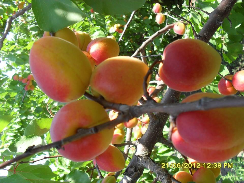 Dr. ing Marius Viorel Roman: Productia de caise, piersici si nectarine este compromisa in sudul tarii