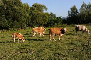 vaca rasa