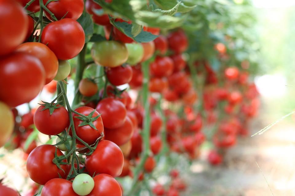 Numar dublu de beneficiari ai Programului Tomate romanesti, in acest an !
