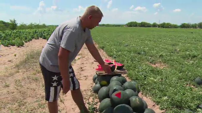 Pepenii de Dabuleni se pregatesc sa iasa la export, in tari precum Suedia, Franta sau Polonia
