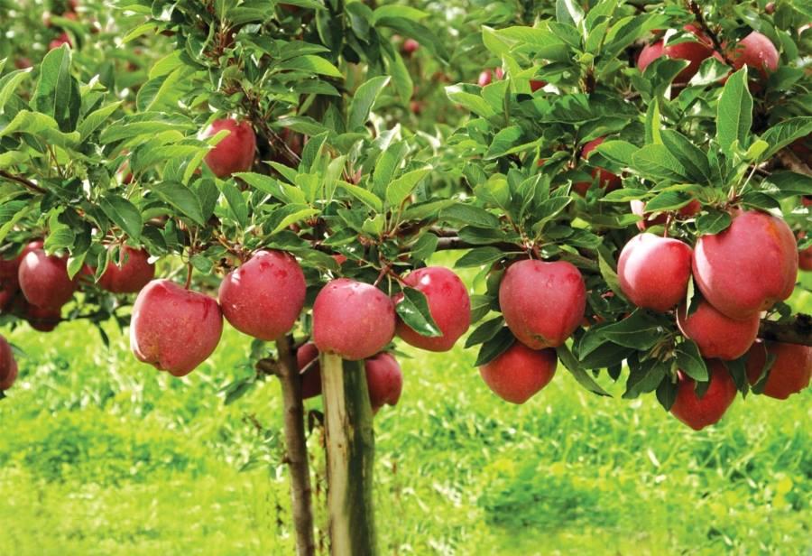 Fructele eco de la Sura Mare (Sibiu) ajung in Italia si Germania. La noi, nu au loc pe piata…