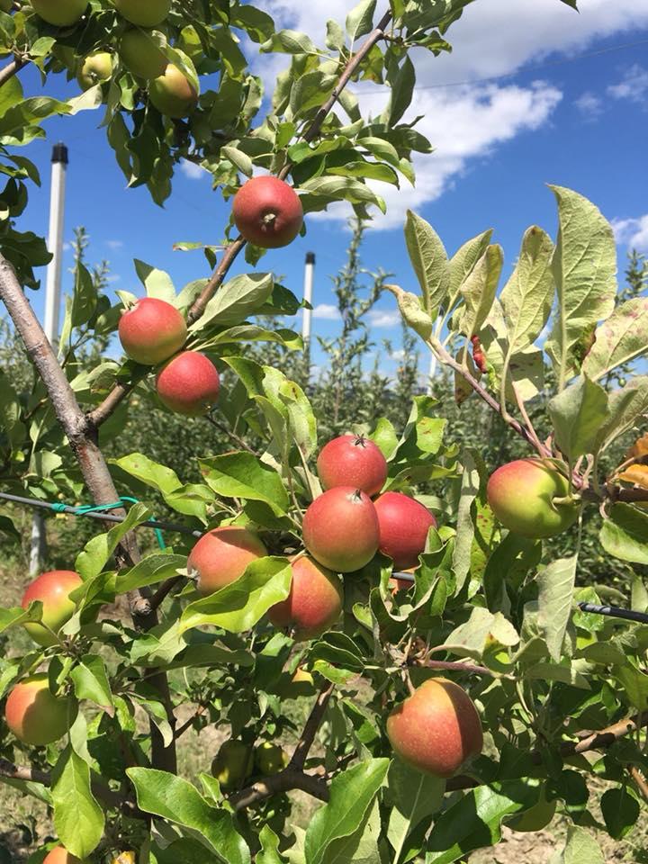 Producatorii de mere din Voinesti asteapta o productie foarte buna, in acest an. Unii vorbesc si de 50-60 to/ha