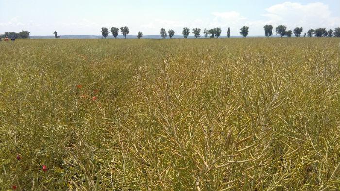 Fermier din sudul tarii: Este dezastru la rapita. Productiile sunt mai mici cu pana la 35%, iar pretul cu 10-15%