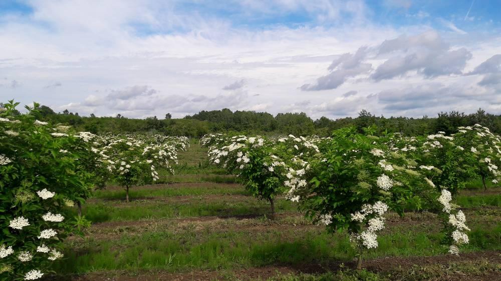 Livada de soc, ultimul trend in pomicultura romaneasca