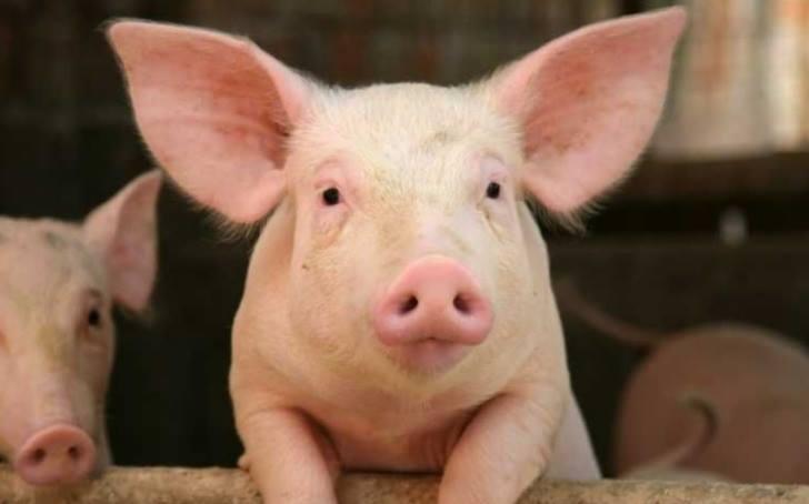 Tulcea mai are doar o singura ferma de porci….Deocamdata