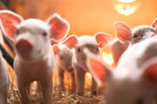 Grupul Carmistin a ajuns al treilea mare producator de carne de porc din Romania