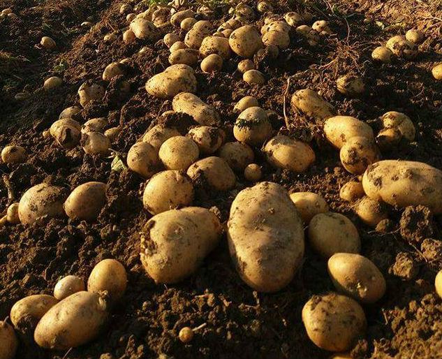 Ploile au distrus culturile de cartofi in Harghita. In 2017, au fost productii record, acum e jale…
