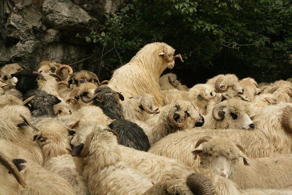 Inca o lovitura pentru fermieri! Pesta rumegatoarelor mici ar putea sa apara in scurt timp, poate chiar cateva zile, in Romania