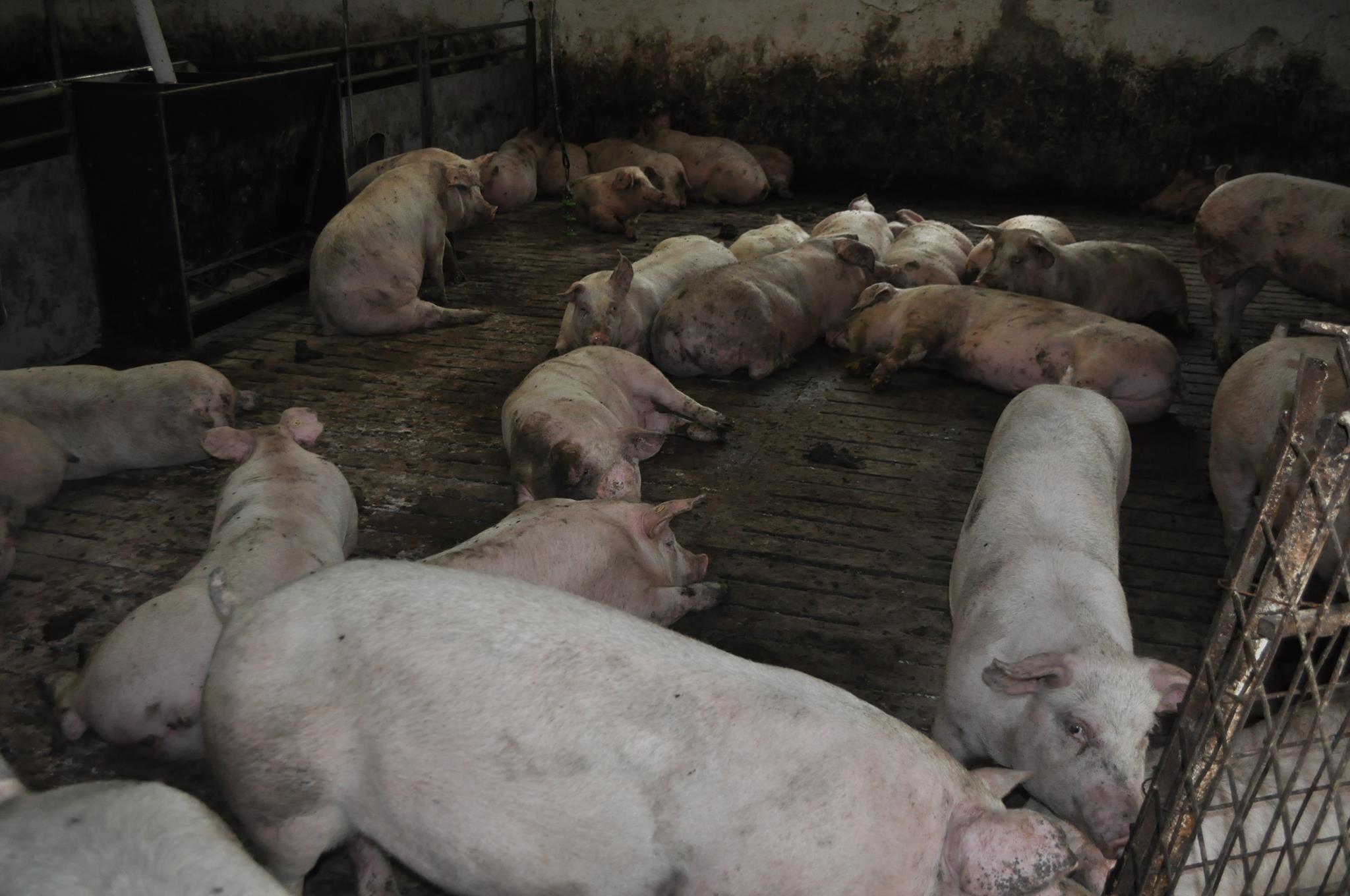 Peste 110.000 de porci sacrificati in Romania, din cauza pestei porcine africane