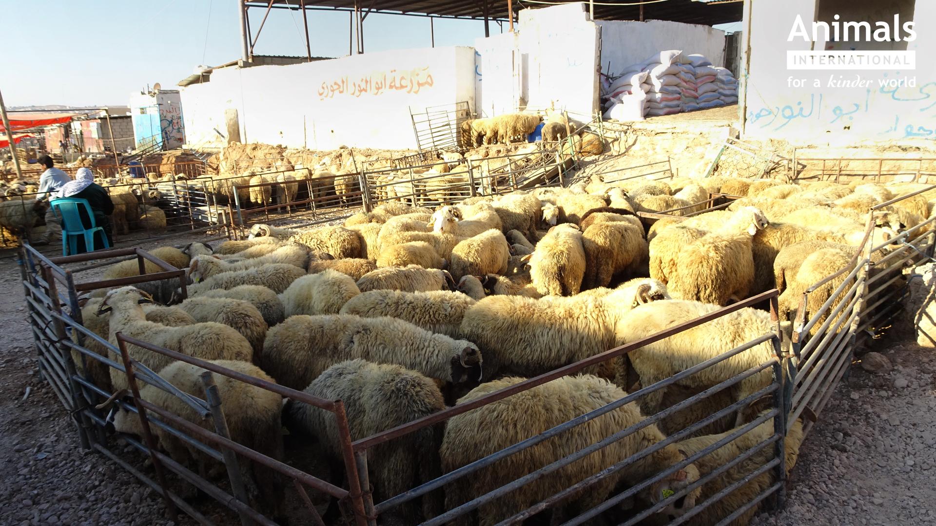 Animals International cere Ministerului Agriculturii sa inlocuiasca exportul de oi vii cu export de carcase