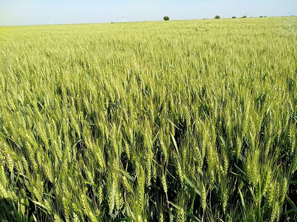 Copa-Cogeca: Productia de cereale este mai mica cu 12,2%, in acest an in UE. Romania, scadere de 3 mil. tone la grau