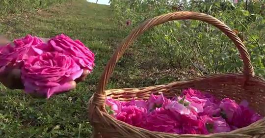 Culturile de trandafiri, un pariu castigat pentru investitori