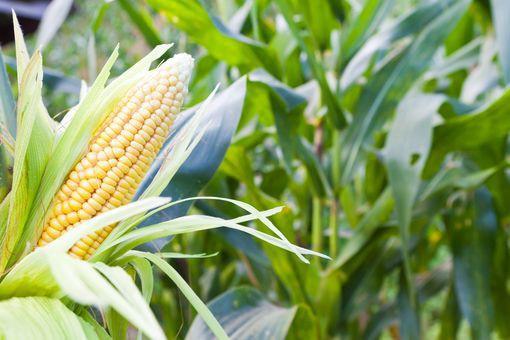 Productie de porumb mai mica cu 14,6% in Franta, in acest an, cu o medie de  8,7 tone/ha