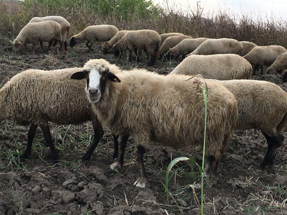 Platile pe suprafata si valoarea sprijinului cuplat la ovine/caprine pe 2018, aprobate