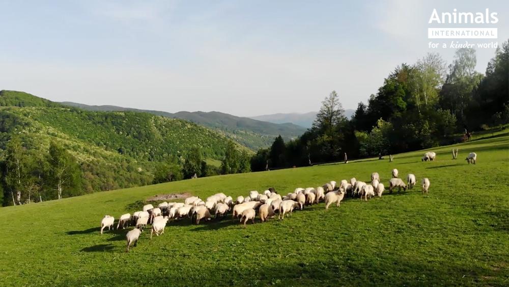 Romania a devenit cel mai mare exportator mondial de ovine si caprine. Preturile, insa, lasa de dorit