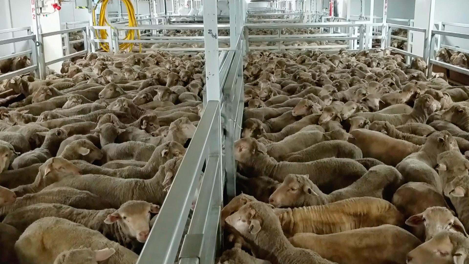 Animals International solicita premierului sa nu permita exportul de animale vii in Orientul Mijlociu pe timpul verii