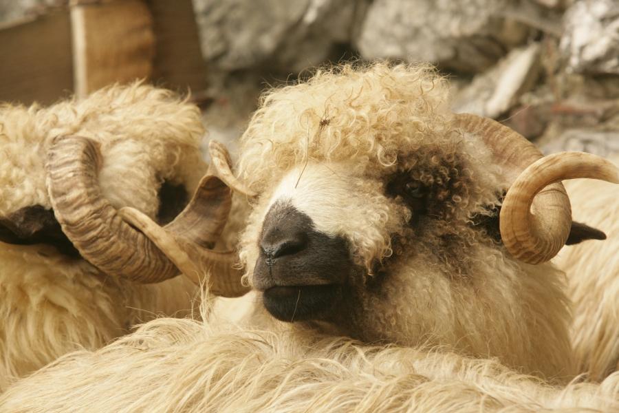 Primele exporturi de carne de oaie in Iran! Urmeaza 800.000 de ovine, in sase luni