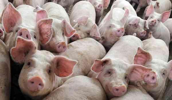 Cea mai mare ferma de porci din Transilvania, pusa in pericol prin metode mafiote!