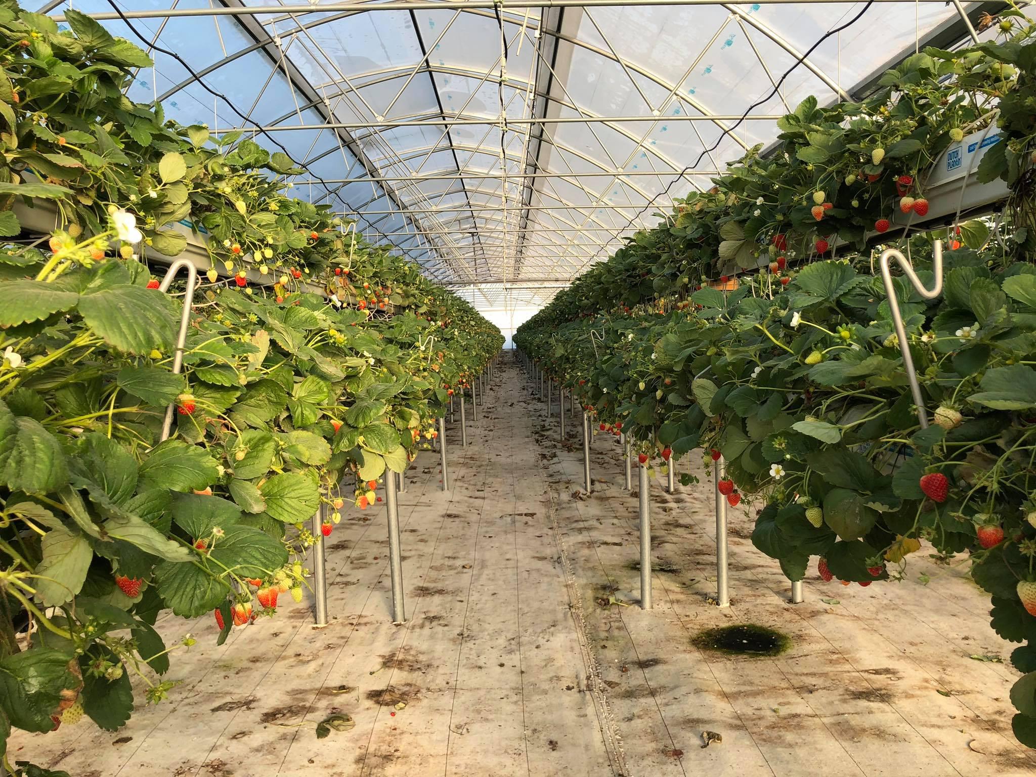 AFIR: 60 ha de sere, solarii si ciupercarii finantate din bani europeni (sM 4.1)