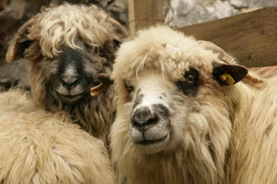 Ajutor de stat pentru 6 specii de animale: taurine, bubaline, porcine, ecvine, ovine si caprine