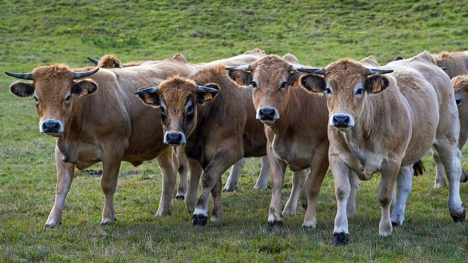Noutati de la ANARZ privind rasele de taurine de carne