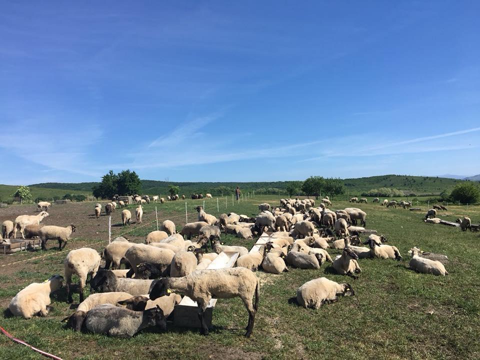 ANZ va elibera adeverinte pentru ovinele si caprinele neinscrise in RG, in vederea accesarii SCZ