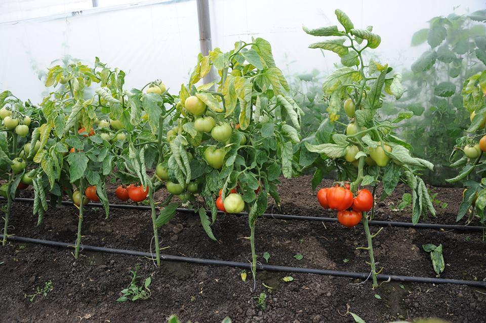 Productie de tomate mai mare cu circa 30%, in 2018, dar si importuri majorate cu peste 10%