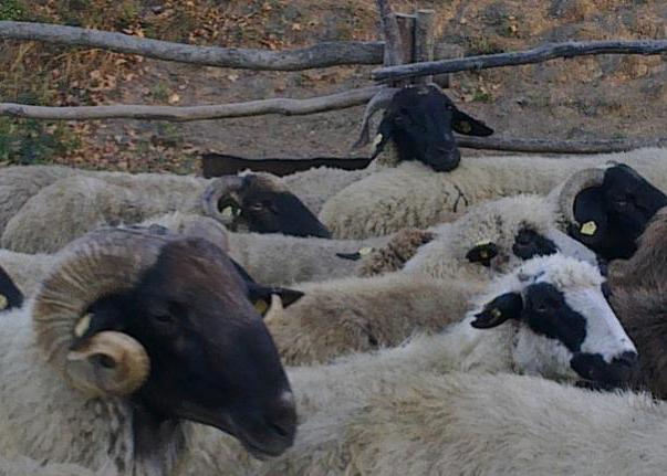 APIA: Pachetul 8, Masura 10 – Lista raselor de animale in pericol de abandon si valoarea platilor compensatorii
