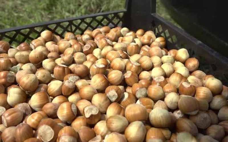 Marile companii de dulciuri sustin cultivatorii romani de alune. Timisul, judetul cu peste 1.000 ha de aluni