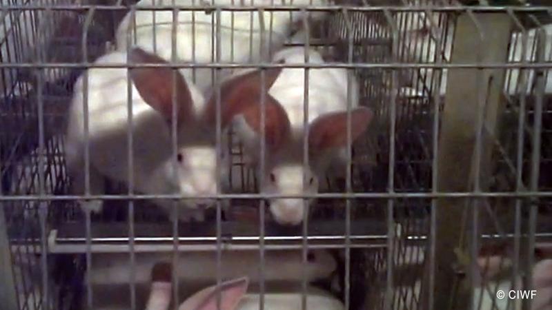 145 de ONG-uri din UE cer interzicerea cresterii iepurilor in custi