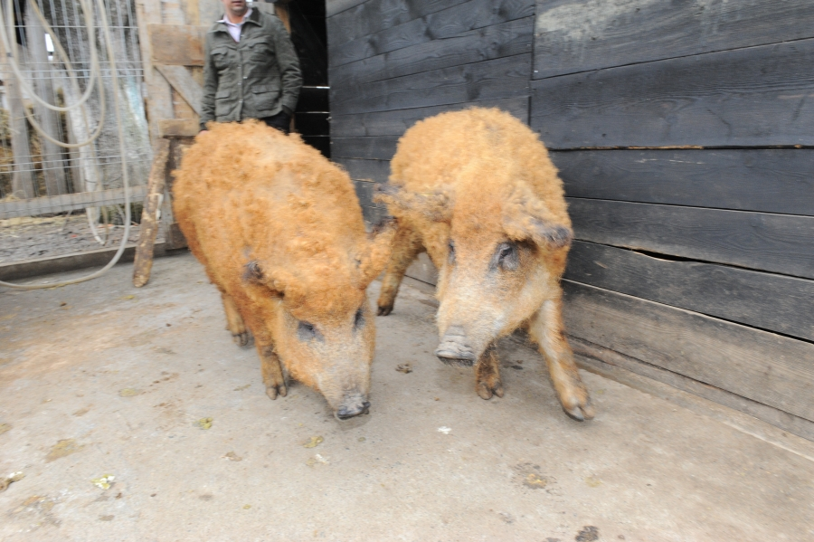 4,6 milioane lei pentru sustinerea crescatorilor de porci din rasele Bazna si Mangalita