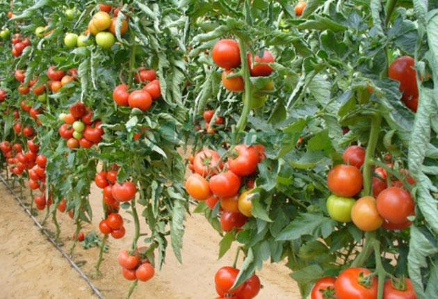 Peste 15.000 cereri de inscriere in Programul de sprijin pentru tomate, aproape dublu fata de 2017