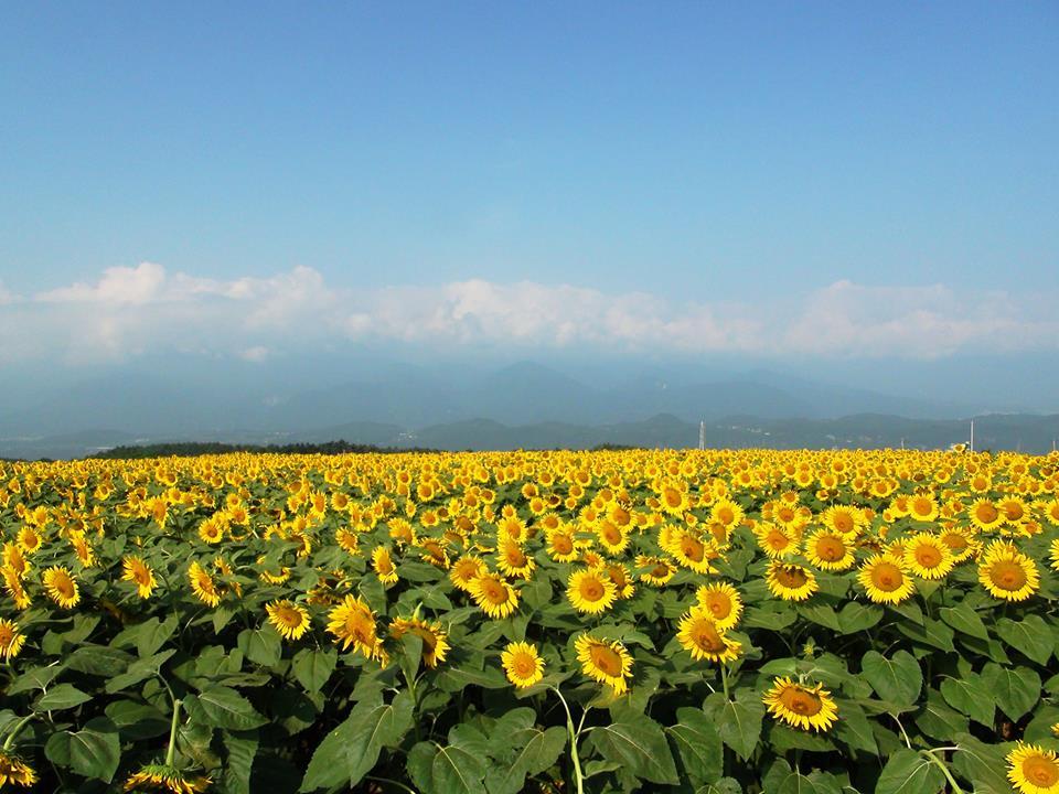 Trei judete asigura un sfert din productia de floarea soarelui: Constanta, Braila si Teleorman