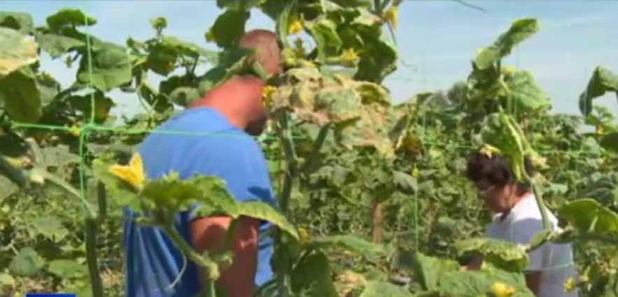 Castraveti pentru export! Un neamt ofera seminte fermierilor din Bihor si le cumpara recolta