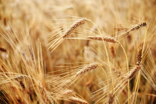Productii de peste 7 to/ha la grau la fermierii mari din Giurgiu si Ilfov