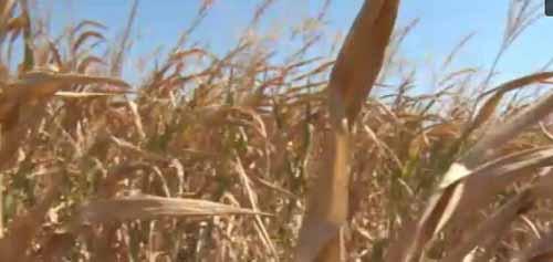 """Productie de porumb mai mica, in acest an. Fermierii, disperati: """"Caldurile au fost naucitoare"""""""