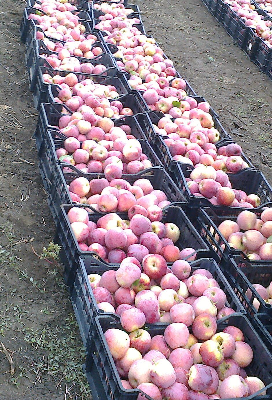 Producatorii de mere isi striga disperarea: Nimeni nu cumpara, nu avem nici macar oferta de pret!