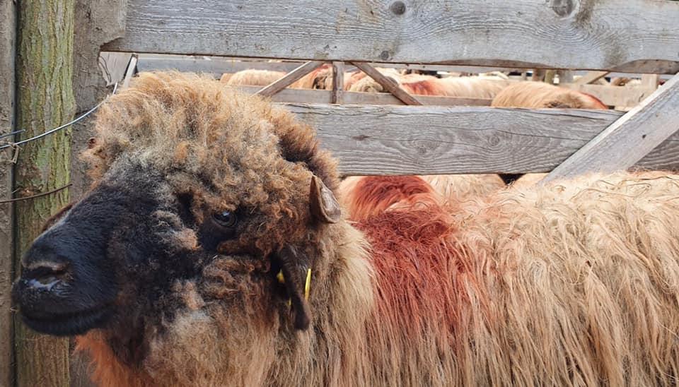 Valoarea platilor pe suprafata si pentru sprijinul cuplat la ovine/caprine pentru anul 2019!