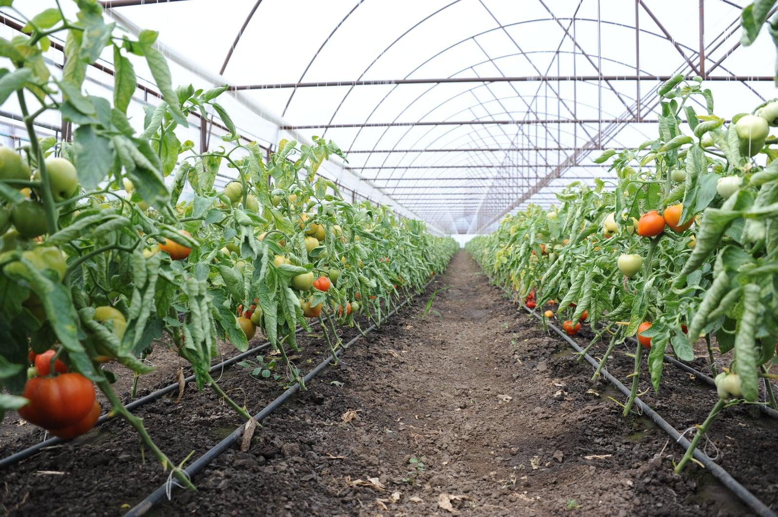 Programul Tomata continua si in 2020 cu aceeasi suma: 3.000 euro/1.000 mp