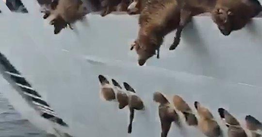 Celula de criza la ANSVSA! 228 de animale salvate de pe pe nava scufundata in portul Midia!