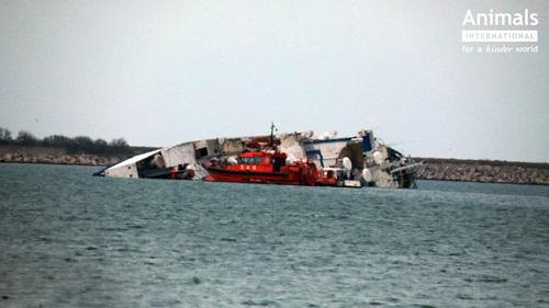 ANSVSA: Animalele salvate de pe nava esuata in portul Midia nu vor ajunge la abator!