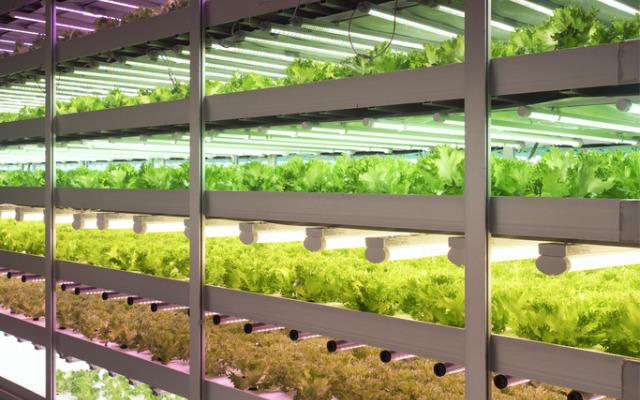 """""""Uzinele de legume"""", o industrie profitabila la japonezi!"""