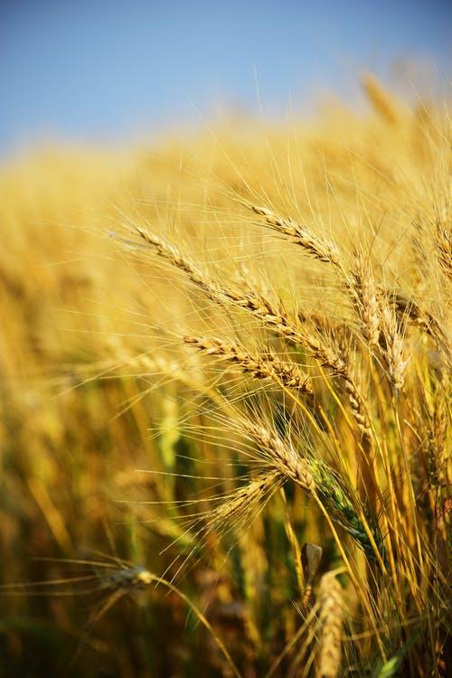 FAO anunta rezerve confortabile de cereale, in 2020