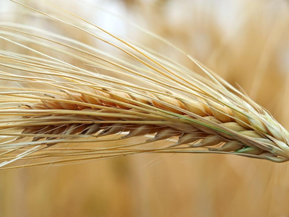 Francezii au probleme cu graul din cauza secetei