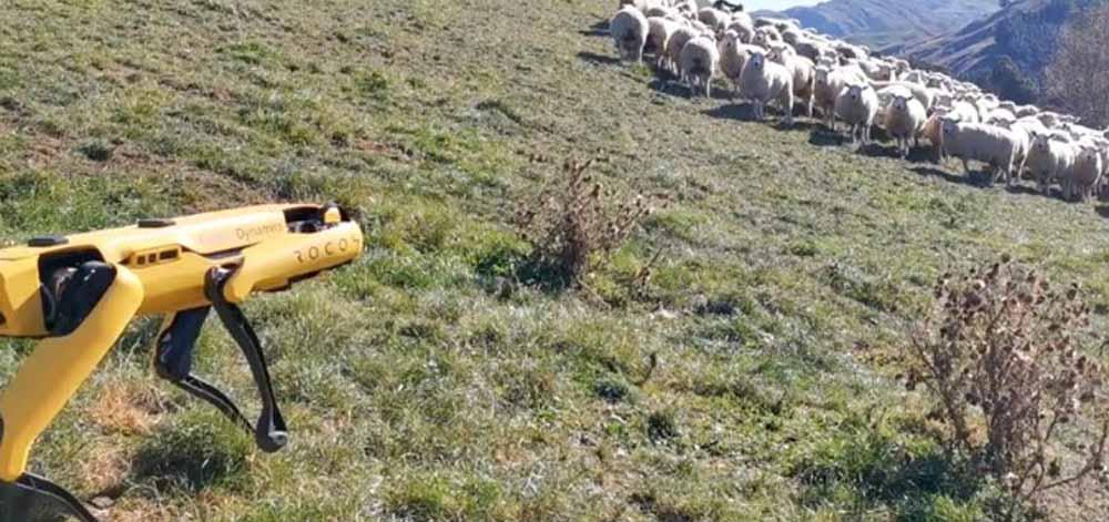 Robotul, pe post de paznic la oi