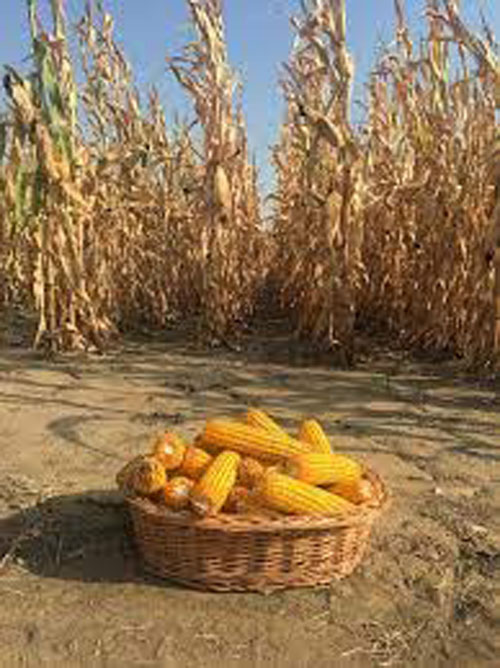 INS: Porumbul reprezinta 53% din exporturile de cereale in T1