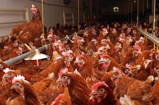 Carmistin investeste peste 8 mil. euro in fermele de pui