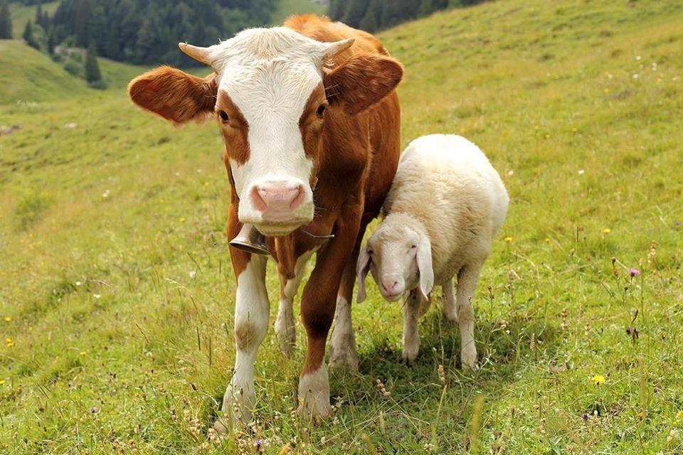 APIA: Crescatorii de animale  pot depune cererile de plata pentru perioada aprilie-iunie