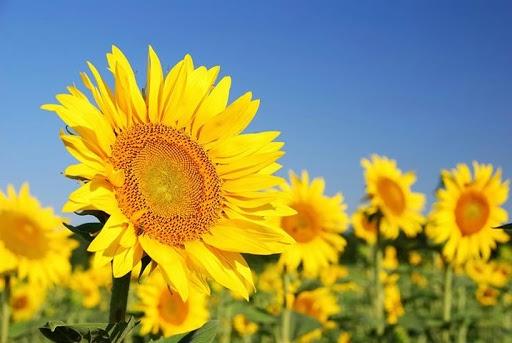 Rusia si Ucraina asteapta productii bune la floarea soarelui