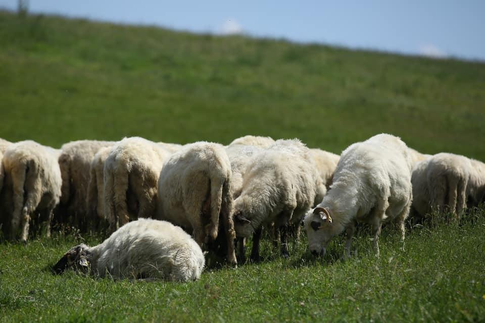 Teste gratuite pentru scrapie la ovine si caprine